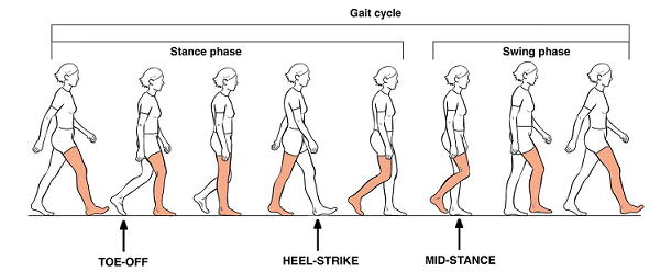 Gait Cycle